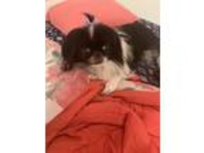 Adopt Lily a Black - with White Japanese Chin dog in Interlachen, FL (25445606)