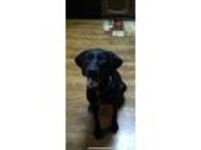 Adopt Ollie a Black Labrador Retriever / German Shorthaired Pointer / Mixed dog