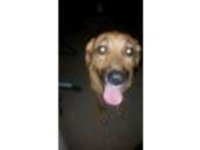 Adopt Luna a Tan/Yellow/Fawn Labrador Retriever / Shepherd (Unknown Type) /