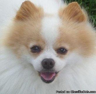 Purebred Pomeranian Puppies Ready to Go :)