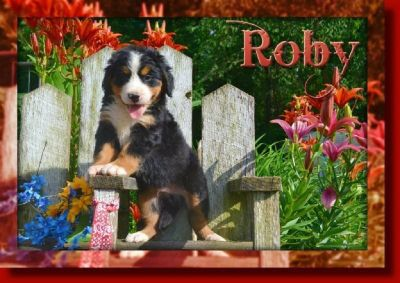 Roby Male Bernese Mountain Dog AKC