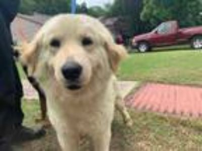 Adopt LILAC a White Golden Retriever / Great Pyrenees / Mixed dog in Grand