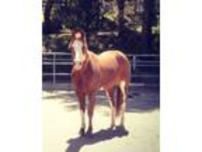 Anyone seen this horse Chestnut Sorrel and White Paint gelding