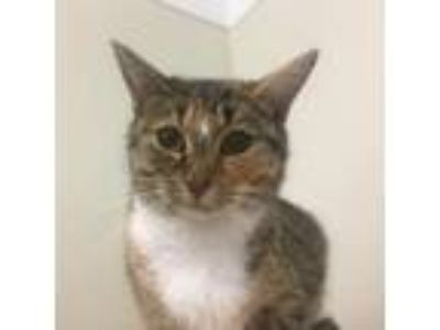 Adopt Frenchie a Domestic Short Hair