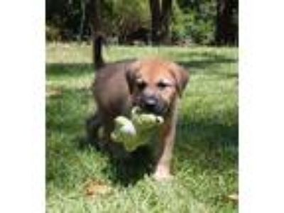 Adopt Chester a Tricolor (Tan/Brown & Black & White) Dutch Shepherd / Great