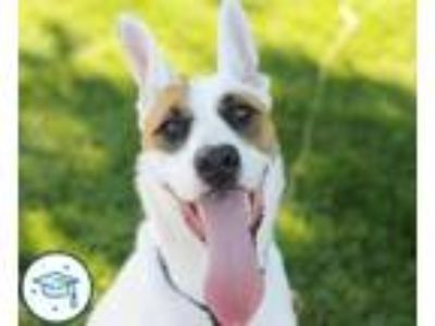 Adopt Wishbone a White Australian Cattle Dog / German Shepherd Dog / Mixed dog