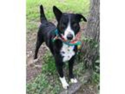 Adopt BULLET a Black - with White Border Collie / Curly-Coated Retriever / Mixed
