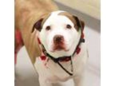Adopt Lincoln a Pit Bull Terrier, Mixed Breed