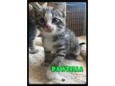 Adopt Pawzilla - 1906223 / 2019 a Brown Tabby Domestic Shorthair / Mixed (short