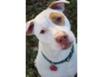 Adopt Gobble a Pit Bull Terrier, American Staffordshire Terrier