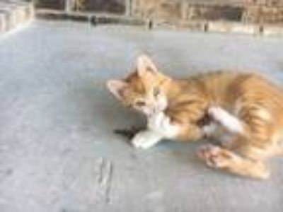 Adopt Mr. Pickles a Orange or Red (Mostly) Domestic Shorthair / Mixed cat in
