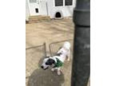 Adopt Patches a White - with Black Shih Tzu / English Shepherd dog in