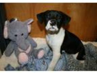 Adopt a Black - with White Great Dane / Boxer / Mixed dog in Modesto