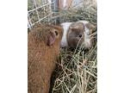 Adopt Aster, Thistle a Guinea Pig