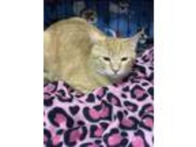 Adopt Davey a Orange or Red Tabby Domestic Shorthair cat in Dallas