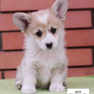 Pembroke Welsh Corgi PUPPY FOR SALE ADN-96702 - Sale Corgi