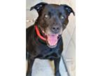 Adopt Max a Black Labrador Retriever / Mixed dog in Niagara Falls, NY (24181434)
