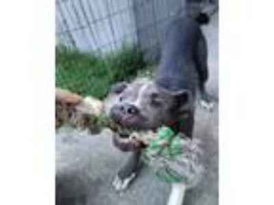 Adopt Sherman a Gray/Blue/Silver/Salt & Pepper American Pit Bull Terrier / Mixed