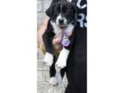 Adopt John Snow a Black - with White Border Collie / Collie / Mixed dog in