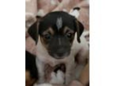 Adopt BRIER a Tricolor (Tan/Brown & Black & White) Terrier (Unknown Type