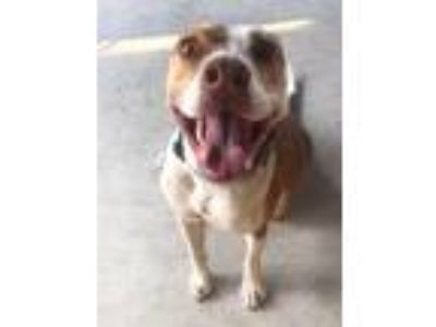 Adopt Bella a Red/Golden/Orange/Chestnut - with White Staffordshire Bull Terrier