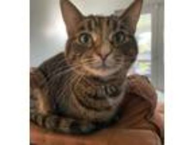 Adopt Sage a Tabby
