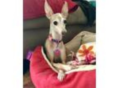 Adopt Hope TX60 a Tan/Yellow/Fawn Italian Greyhound / Mixed dog in Richardson