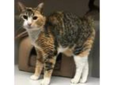 Adopt Sunnie a Brown or Chocolate Domestic Shorthair cat in Lake Panasoffkee