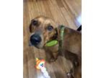 Adopt Taffy a Red/Golden/Orange/Chestnut Redbone Coonhound / Mixed dog in