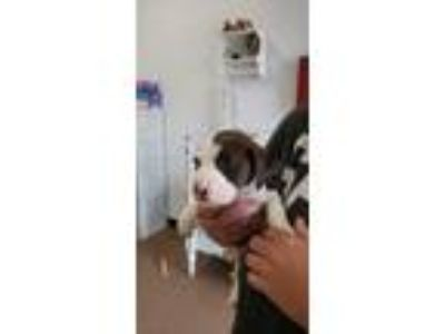 Adopt Triton a Brown/Chocolate - with White Basset Hound dog in Lavalle
