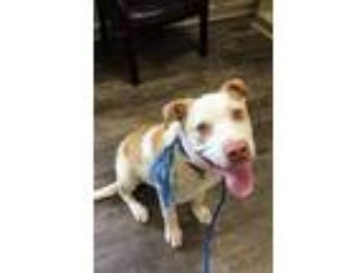 Adopt Curley a Labrador Retriever / Mixed Breed (Medium) dog in Whitestone