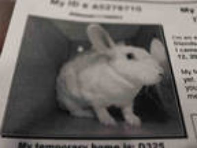 Adopt ANDROMEDA a Black Other/Unknown / Mixed rabbit in Upland, CA (25355534)