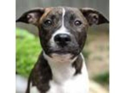 Adopt Tug a American Staffordshire Terrier, Pit Bull Terrier