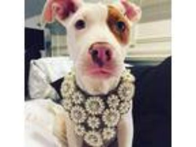 Adopt Rosie a White - with Brown or Chocolate American Pit Bull Terrier /