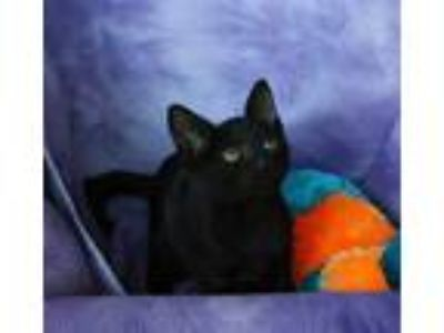 Adopt Franscisco a Domestic Short Hair