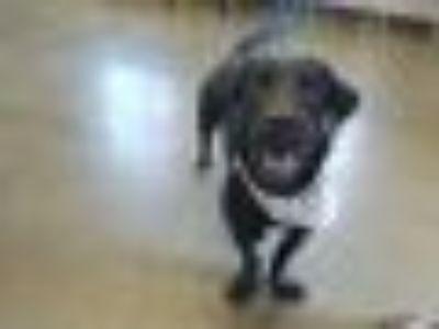 Frankfooter Basset Hound - Labrador Retriever Dog
