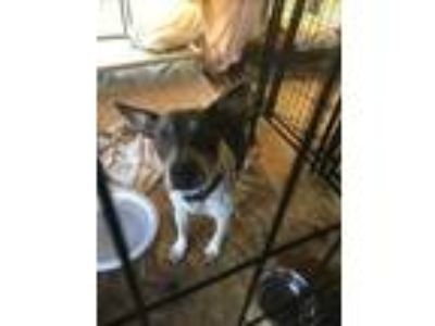Adopt HM Pookie a Pit Bull Terrier / Cattle Dog / Mixed dog in FREEPORT