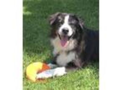 Adopt Bon Bon a Border Collie