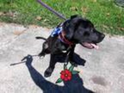 Adopt JUDE a Black - with White Labrador Retriever / Mixed dog in Houston