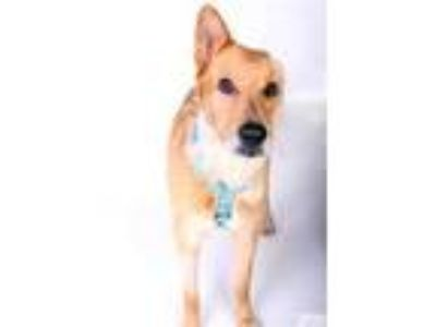 Adopt Lucky a Tan/Yellow/Fawn Shepherd (Unknown Type) / Mixed dog in Dallas