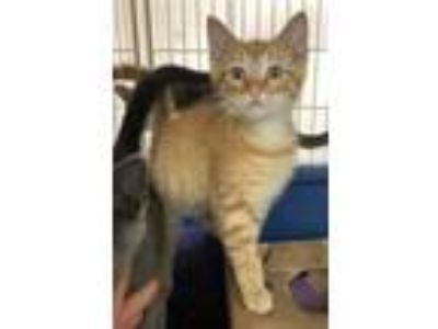 Adopt Georgie a Orange or Red Domestic Shorthair / Domestic Shorthair / Mixed