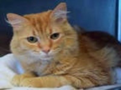 Adopt KITTY POPPINS a Orange or Red Tabby Domestic Longhair / Mixed (long coat)