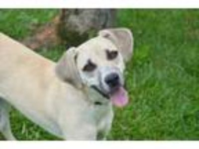 Adopt Sniffy a Labrador Retriever, Mountain Cur