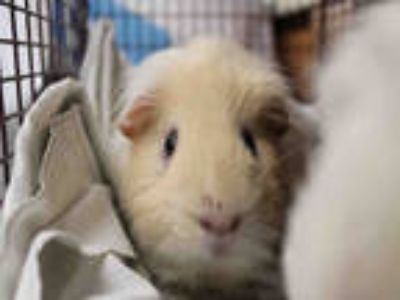 Adopt TAN a Tan or Beige Guinea Pig / Mixed small animal in Los Angeles