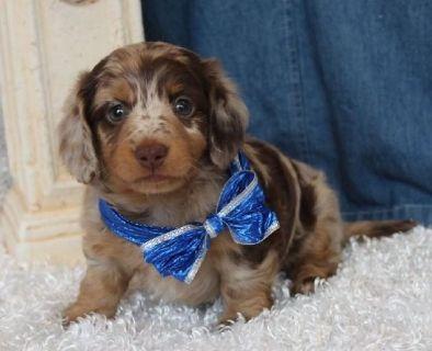 Cute Mini Dachshund Puppies For Sale