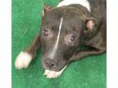 Adopt Amelia a Black American Pit Bull Terrier / Mixed dog in SMITHFIELD