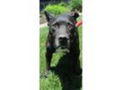 Adopt CADBURY a Staffordshire Bull Terrier / Labrador Retriever / Mixed dog in