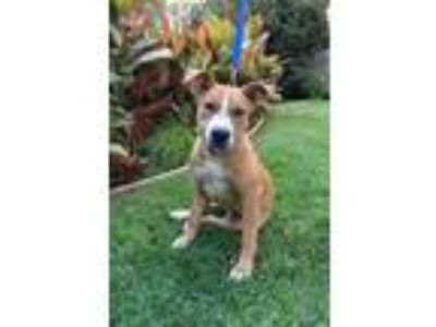 Adopt RACEE RILEY a Staffordshire Bull Terrier / Shar Pei / Mixed dog in