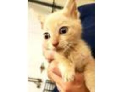 Adopt Brian a Tan or Fawn Domestic Shorthair / Domestic Shorthair / Mixed cat in
