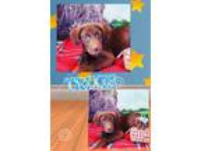 Adopt Trixie a Brown/Chocolate Labrador Retriever / Mixed Breed (Large) / Mixed